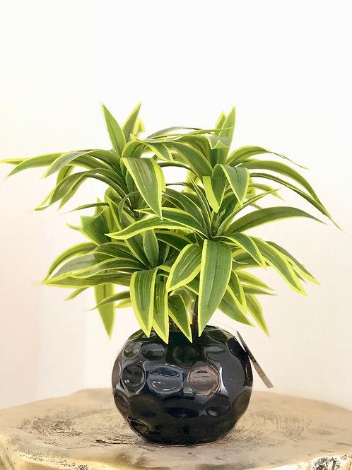 Dracena black vase
