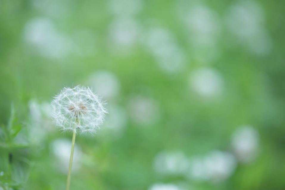 たんぽぽ タンポポ タンポポ綿毛 dandelion