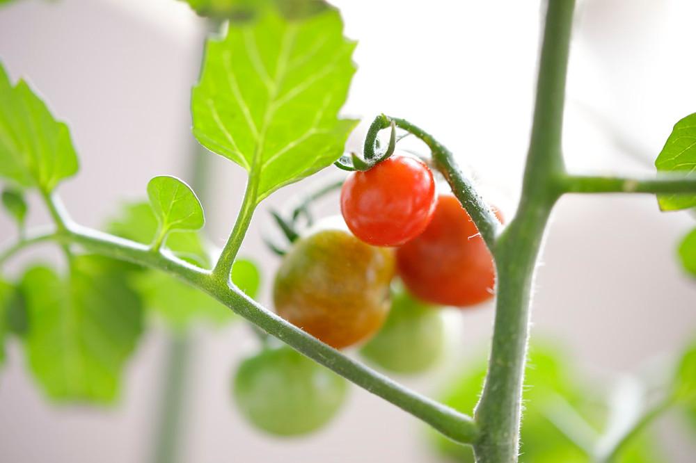 ミニトマト ベランダ栽培のミニトマト 初物