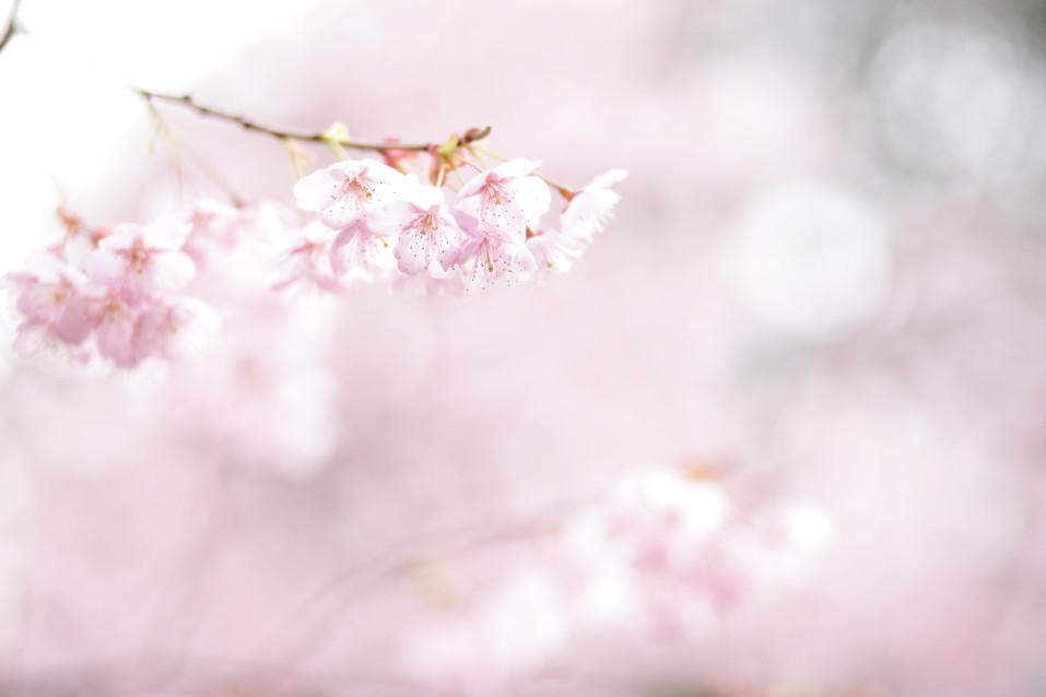 大津市桜 早咲きの桜 滋賀県出張撮影