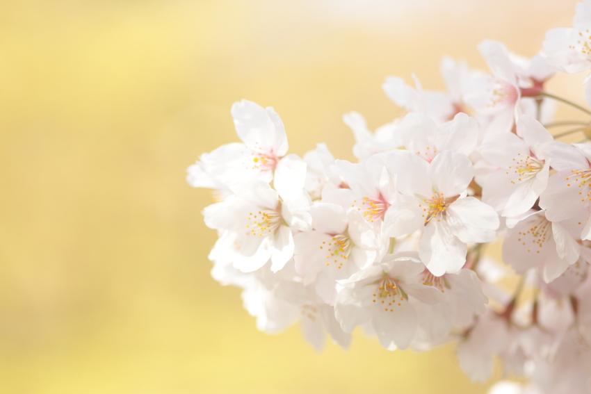桜 サクラ 女性カメラマン大津市