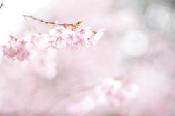 桜 早咲きの桜 ロケーションフォト滋賀