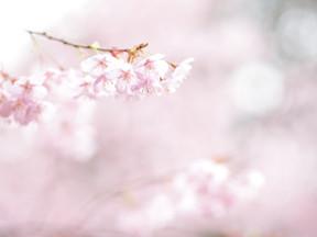 早咲きの桜まであとひと月