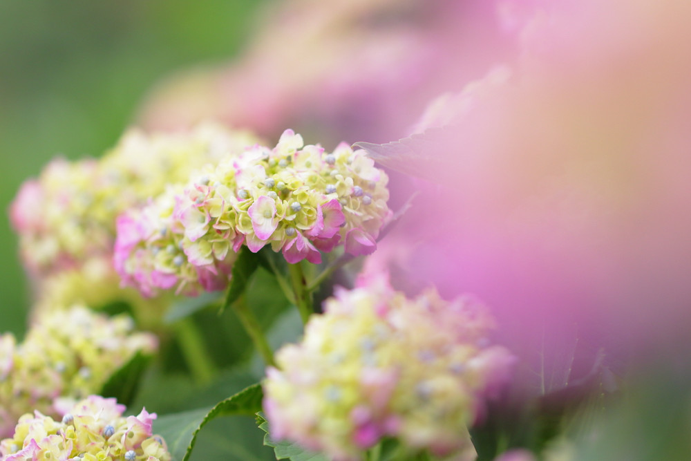 紫陽花 アジサイの花