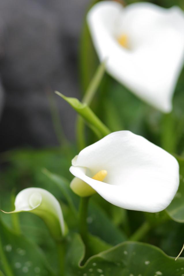 カラー 花の写真 白い花
