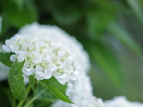 紫陽花の白い花