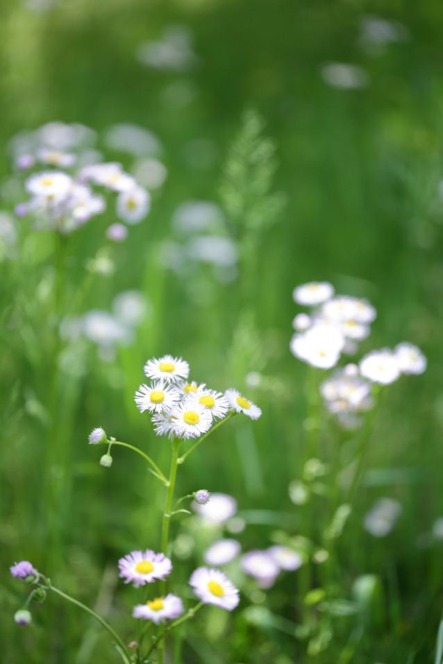 ハルシオン 草花 野原の花