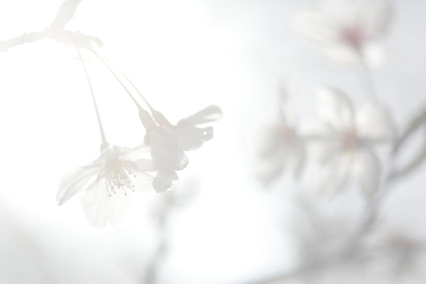 桜 滋賀出張撮影 女性カメラマン滋賀 さくら作品