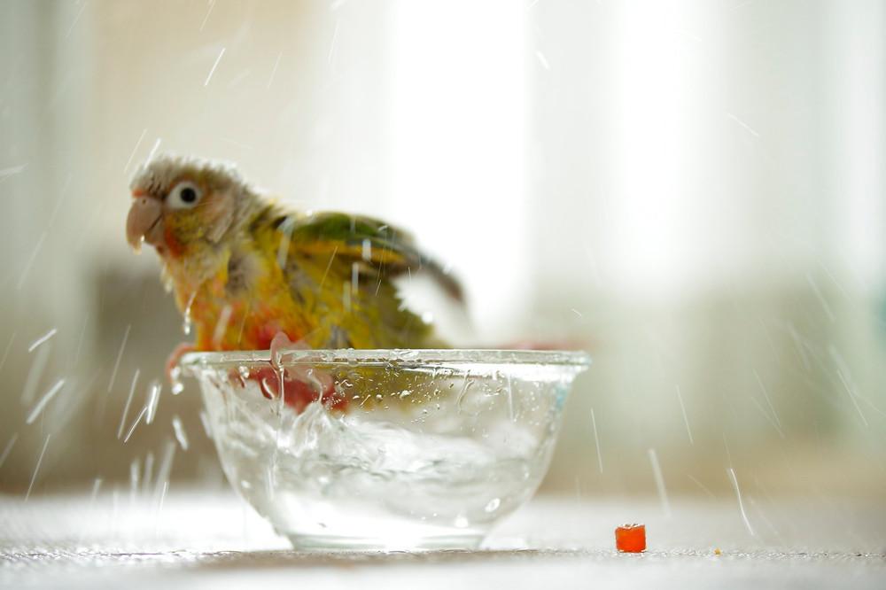 インコの水浴び ウロコインコ 家族写真 滋賀県 出張撮家あおぞら