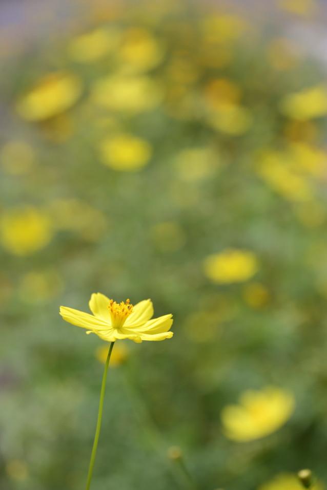黄色いコスモス 黄色い花 秋の花