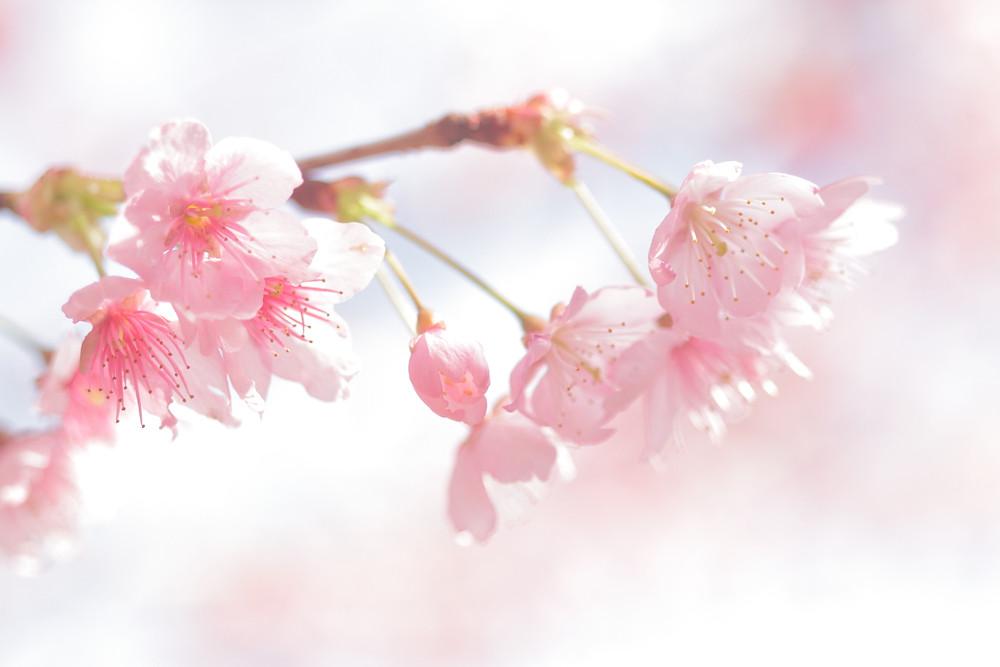 大津市 滋賀県カメラマン 桜 ハツミヨザクラ 出張撮影滋賀