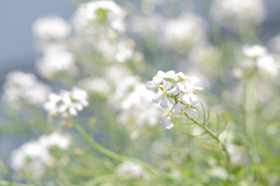 ダイコン ダイコンの花 大根 白い花