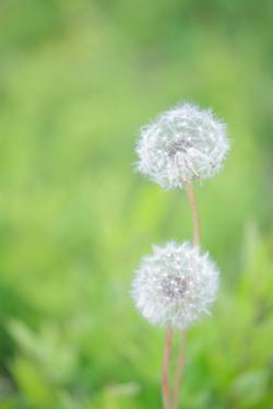 タンポポ 綿毛 風景写真