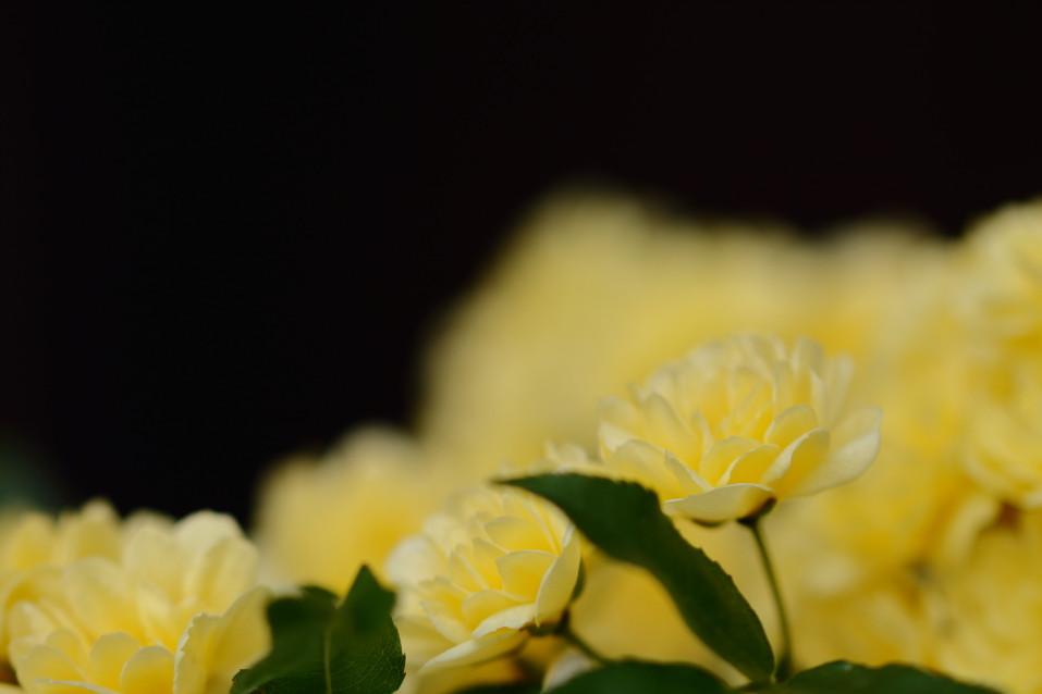 モッコウバラ バラ 黄色い花
