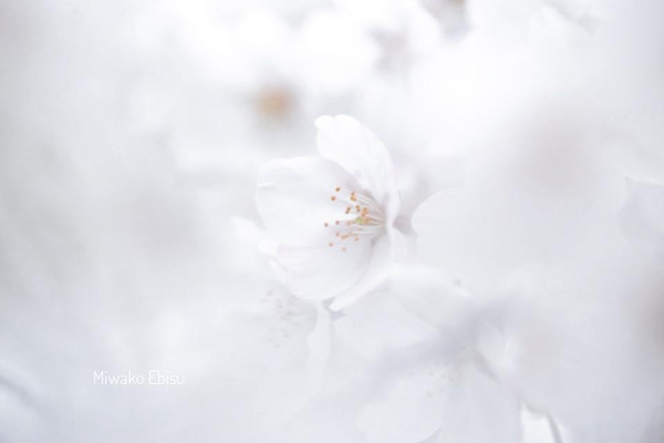 桜 サクラ さくら カメラマン京都 カメラマン滋賀