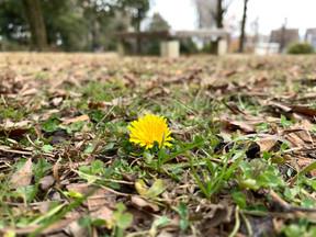 ひとりで咲いてるタンポポ