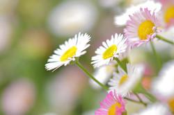 ペラペラヨメナ 源平小菊