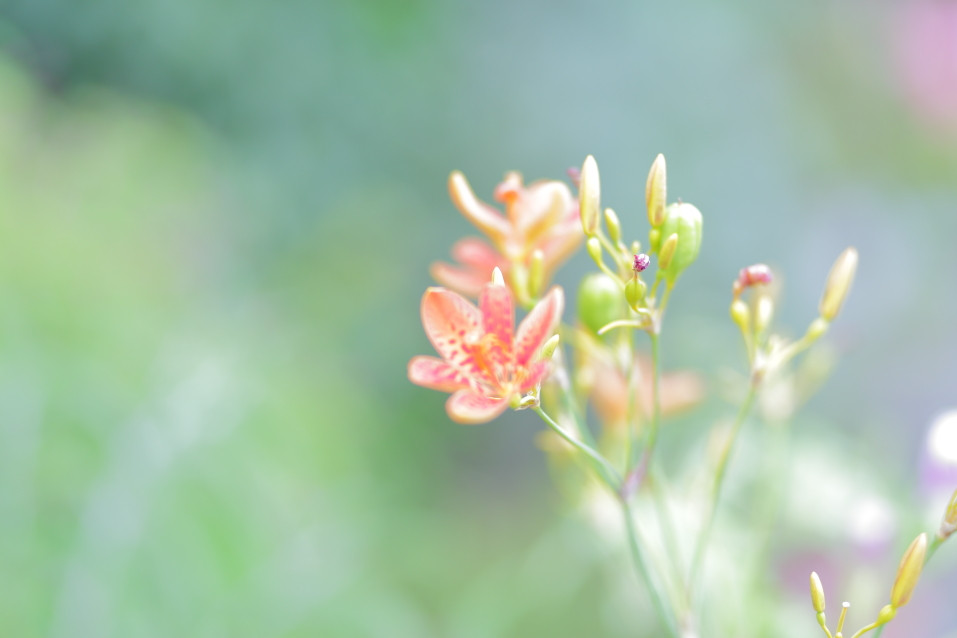 夏の花 ゆり 出張撮影 滋賀県