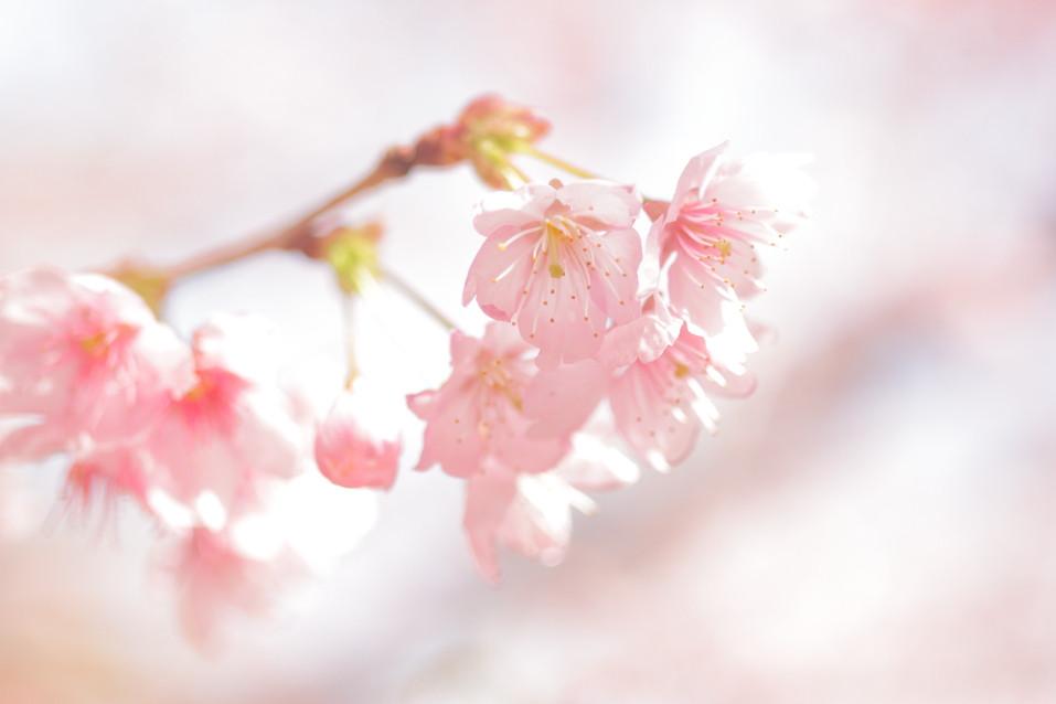 さくら 桜 サクラ ハツミヨザクラ 春