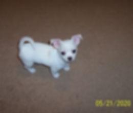 Mijo- Bella's Mar 2020 pups-21 May 007.J