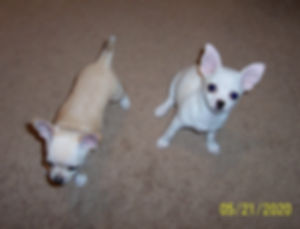 Lucy & Penny Bella's Mar 2020 pups-21 Ma