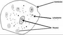 Pour quelle raison parle-t-on de plasmode lorsqu'il s'agit de blob ?