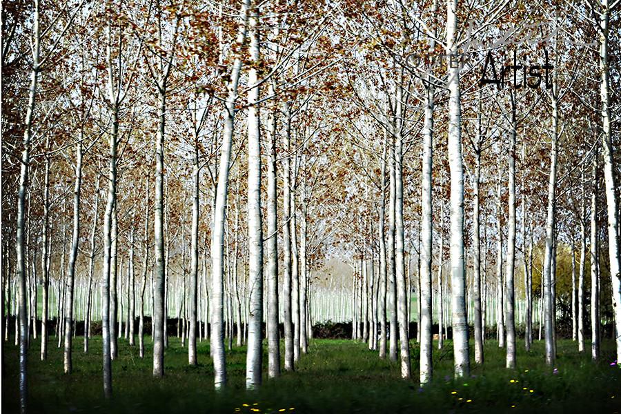 Birch Trees, Tuscany, Italy