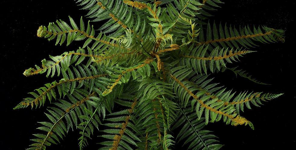 NZ Fern Bush - Dark Green Large 47cm