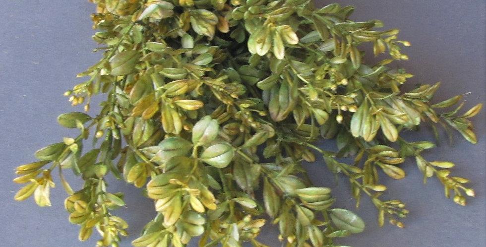 Buxus - Tall Sage Green 50cm