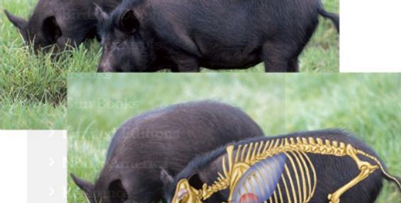 Feral Hog - Big-Game Targets (5-Pack)