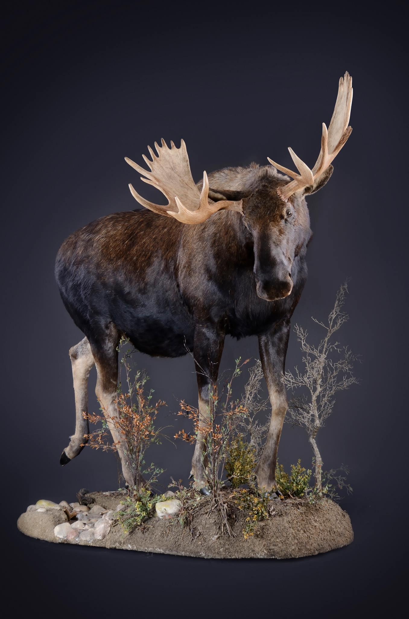 Lifesize Moose Trophy