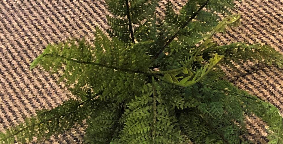 Small Native Fern