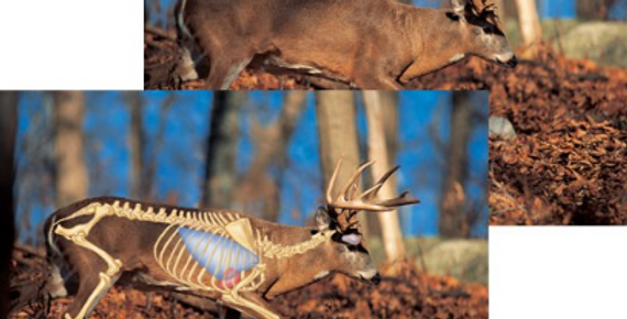 White-Tailed Deer - Big-Game Targets (5-Pack)