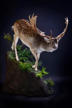 Life Size Fallow Deer Trophy