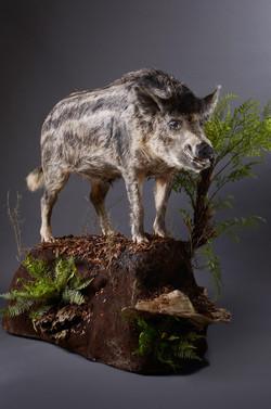 Lifesize Boar Trophy