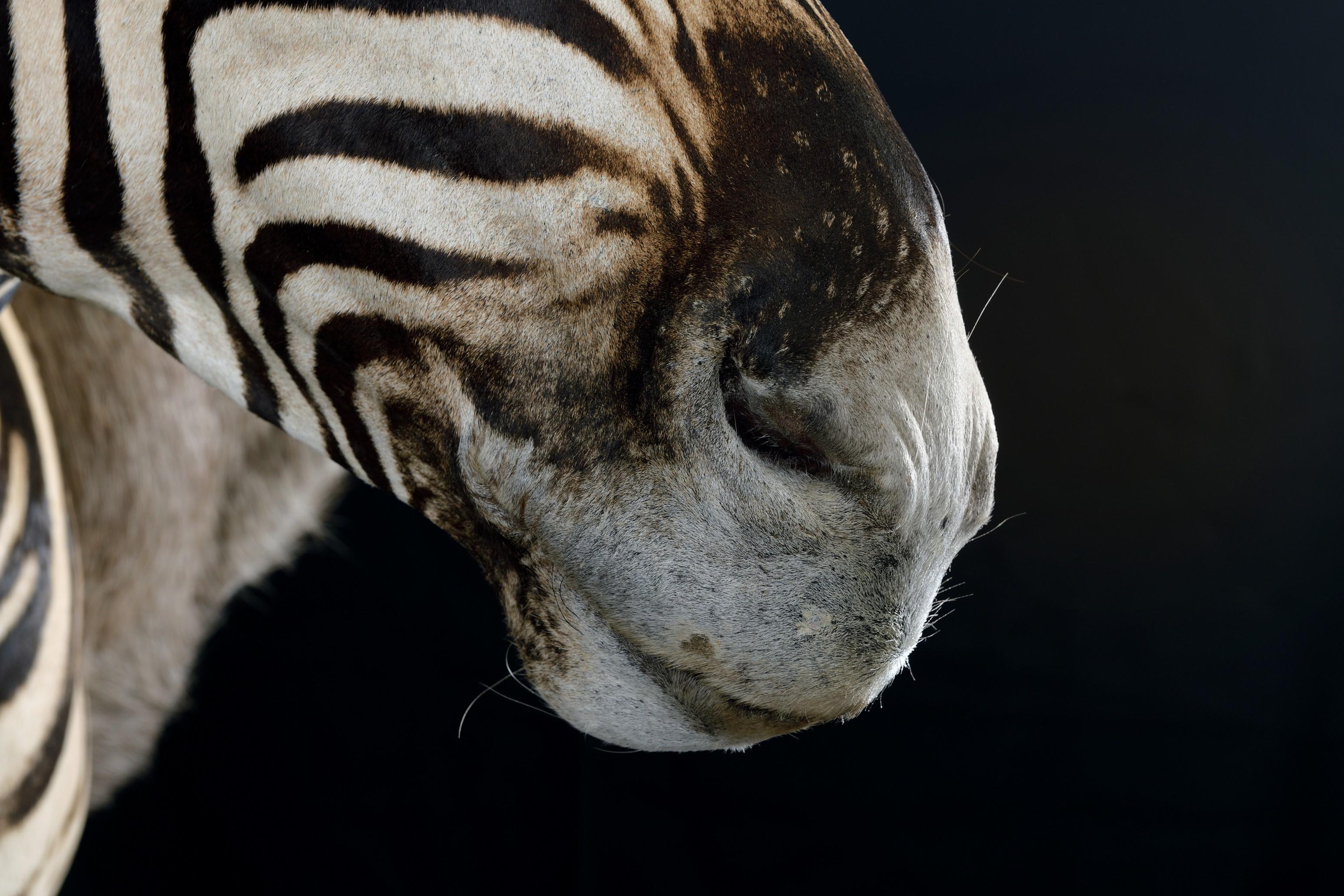 Zebra Shoulder Mount Trophy