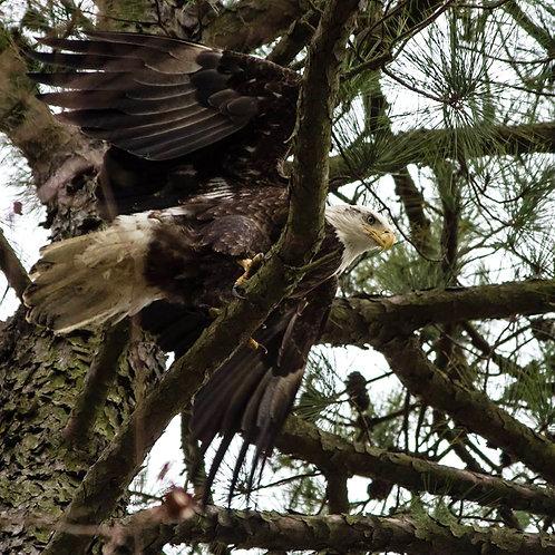 Eagle Society