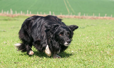Nordevind Skye, a powerless and reliable working dog with devlishly good looks