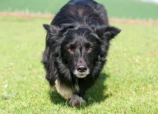 Skye 10th dog in the team for the world trial 2020