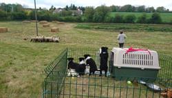 Sheepdog demos all day at a festival