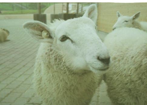 羊?1.jpg
