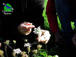 identification carotte sauvage