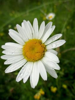 Fleur de marguerite