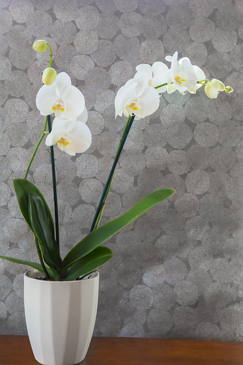 Orchid for Gifting (BCHL)