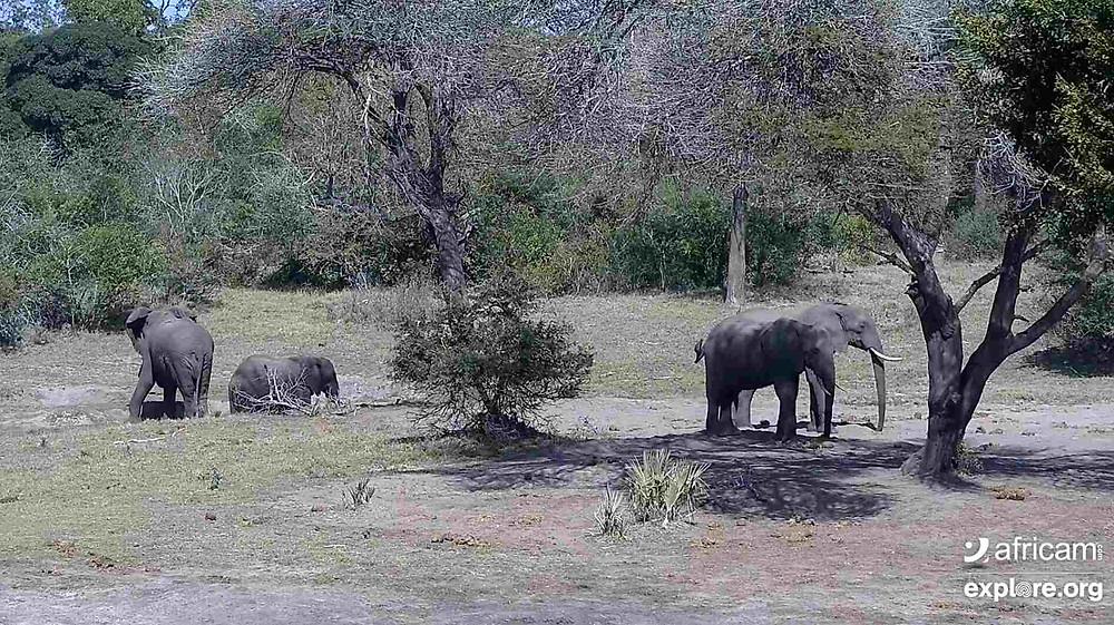 family of elephants in africa safari on live webcam virtual tour stream for kids