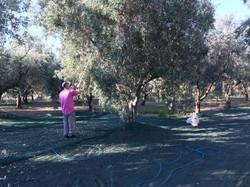 foto raccolta olive 2