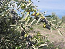 olivo-frantoio_NG1.jpg