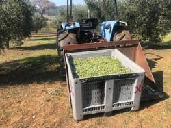foto raccolta olive 4