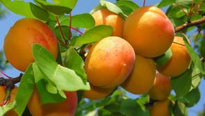 POLVERE DI ROCCIA W188 e W104 Resa fruttiferi.