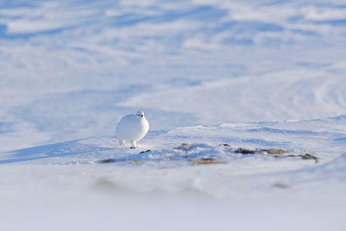 White Rock Ptarmigan, Lagopus mutus, whi